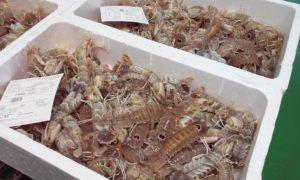 Mantis prawns
